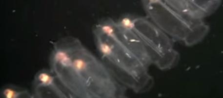 Tunicate pelagice mobile în ocean