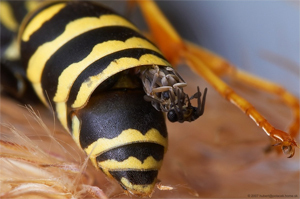 Xenos vesparum pe viespia-gazdă, Foto: cracked.com