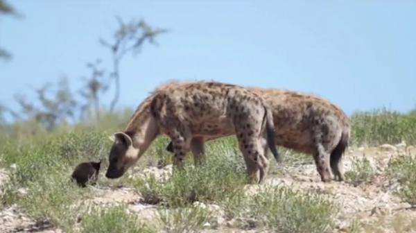 Hiena pătată, specia Crocuta crocuta