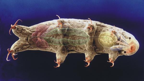 Halobiotus crispae, Foto: snl.no