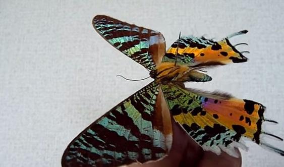 Molia Chrysiridia rhipheus