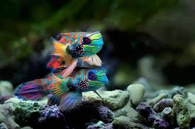 Peștele mandarin, Foto: stuffpoint.com