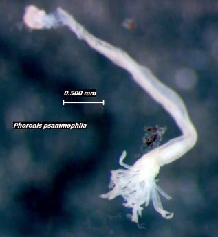 Phoronis psammophila, Foto: bcbiodiversity.lifedesks.org
