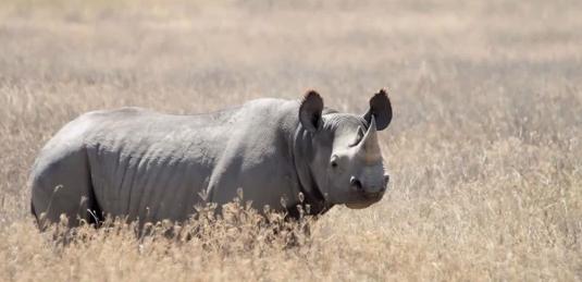 Rinocerul negru