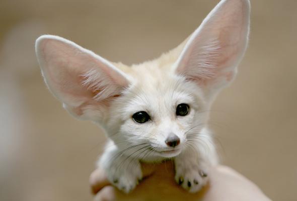 Specia Vulpes zerda, cea mai mica vulpe din lume, Foto: goodwp.com