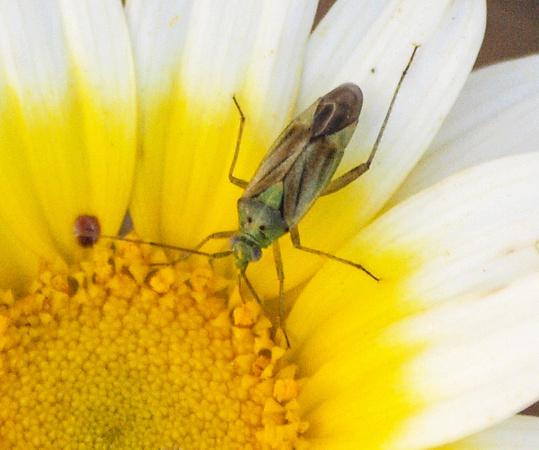 Closterotomus norvegicus, Foto: kimssight.zenfolio.com