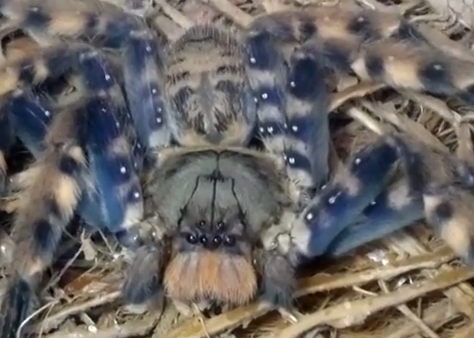 Specia Heteropoda lunula