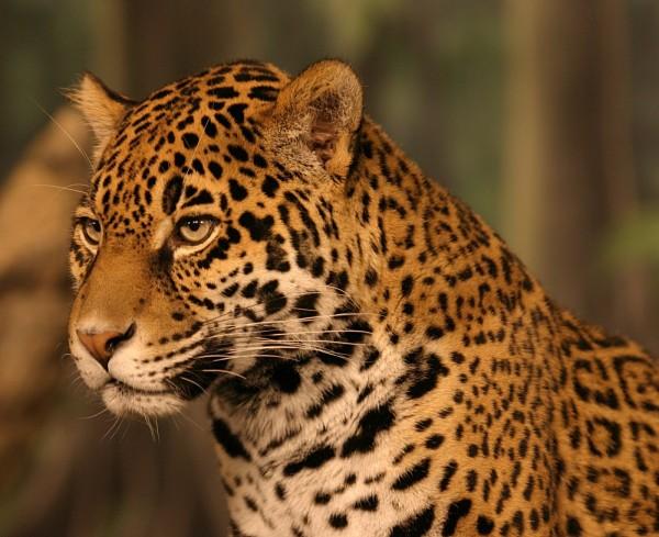 Jaguarul, Foto: jackpendarvis.blogspot.ro
