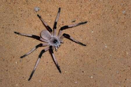 Păianjenul Cerbalus aravaensis, Foto: sizeis.com