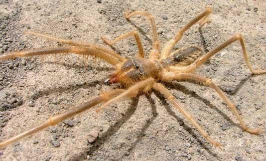 Păianjenul cămilă, Foto: factzoo.com