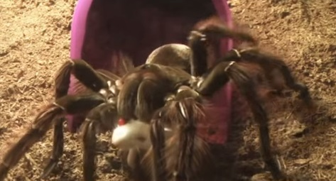 Păianjenul Theraphosa blondi
