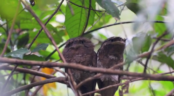 Pasărea Batrachostomus moniliger