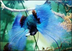Pasărea paradis albastră, Foto: peperonity.com