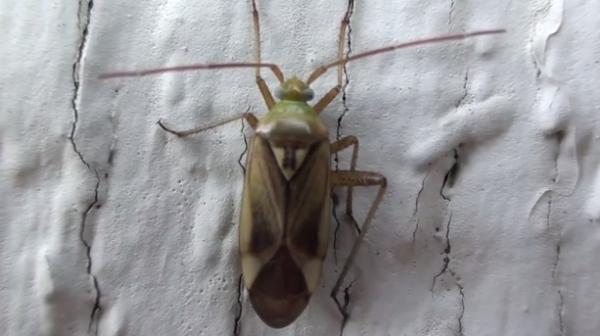 Specia Adelphocoris lineolatus