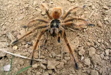 Specia Brazilian Tawny-red, Foto: spidertopia.weebly.com