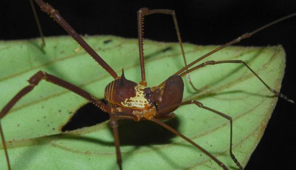 Specia Metarhaucus, Foto: opiliones.wikia.com