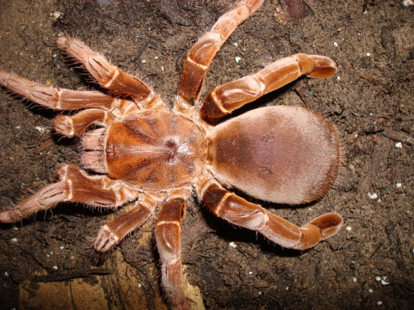 Specia Pelinobius muticus, Foto: teraristika-hr.com