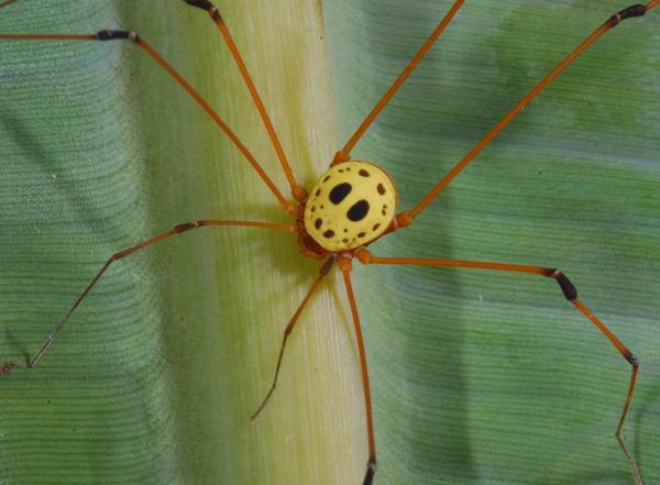 Specia Sibambea, Foto: opiliones.wikia.com