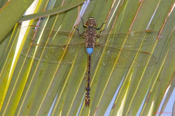Anax ephippiger, Mascul, Foto: libelulasengrancanaria.blogspot.ro
