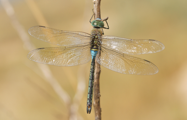 Anax parthenope, Mascul