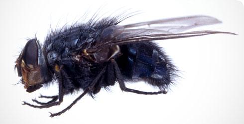 Calliphora vicina, Foto: prezi.com