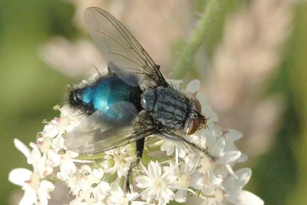 Cynomya mortuorum, femela, Foto: commanster.eu
