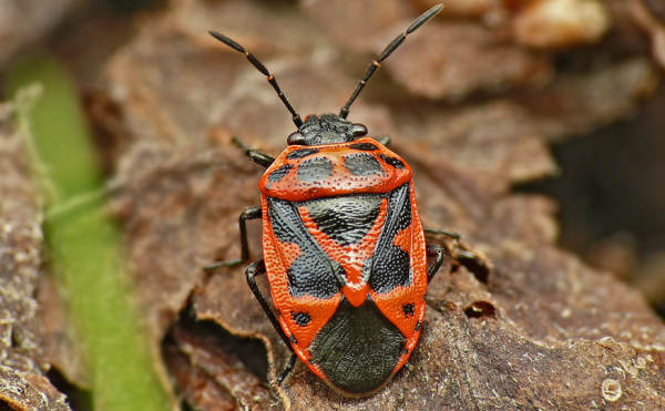 Gândacul de varză, specia Eurydema dominulus