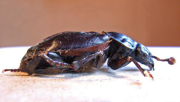 Nicrophorus germanicus, Foto: de.academic.ru