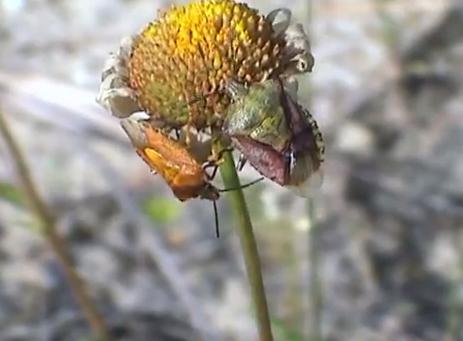 Specia Carpocoris pudicus