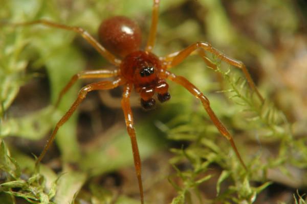 Specia Gonatium rubellum, Foto: pavouci-cz.eu