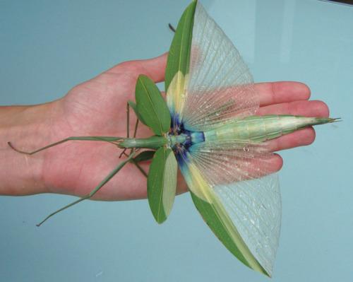 Tropidoderus childrenii, Foto: quazoo.com