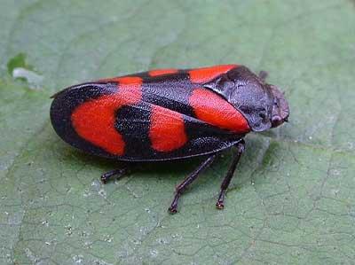 Cercopis vulnerata, Foto: britishbugs.org.uk