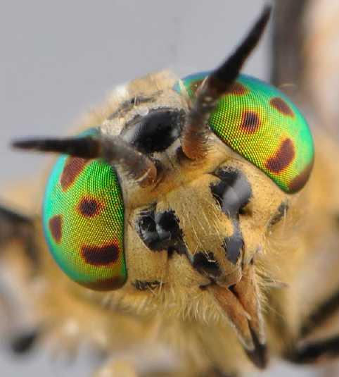 Chrysops flavipes, Capul insectei, Foto: aramel.free.fr