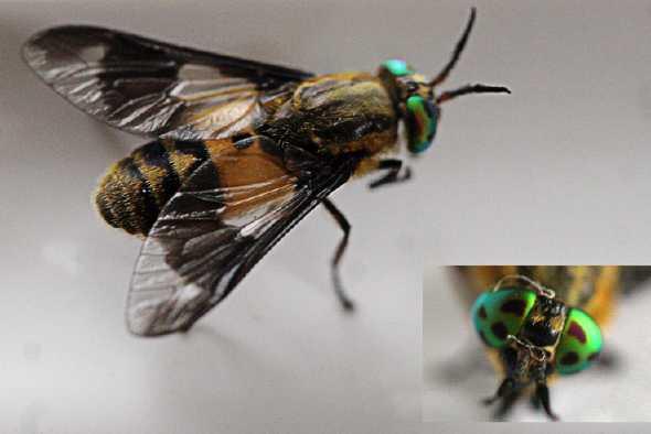 Chrysops relictus, Foto: aramel.free.fr