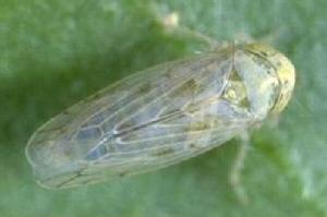 Circulifer tenellus, Foto: entoweb.okstate.edu