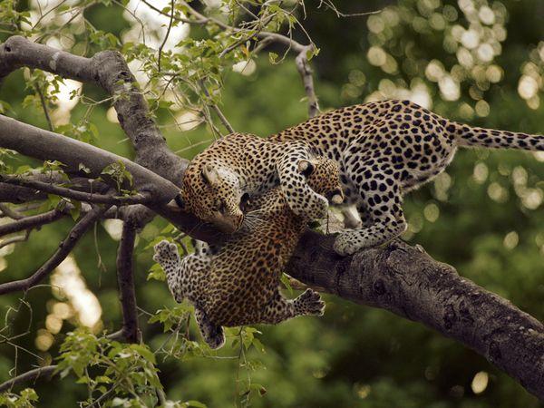 Leopard femela si pui pe o ramura de copac in Botswana, foto Beverly Joubert