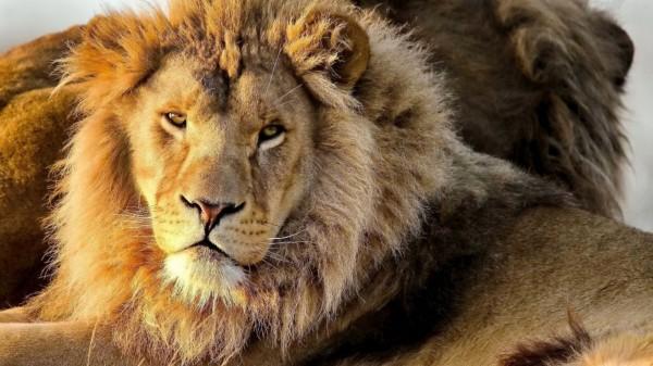 Leul, regele junglei, Foto: hqwide.com