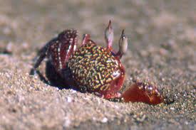 Ocypode gaudichaudii, Foto: rosenberglab.net