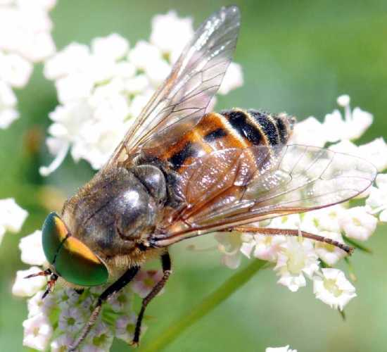 Philipomyia graeca, Mascul, Foto: aramel.free.fr