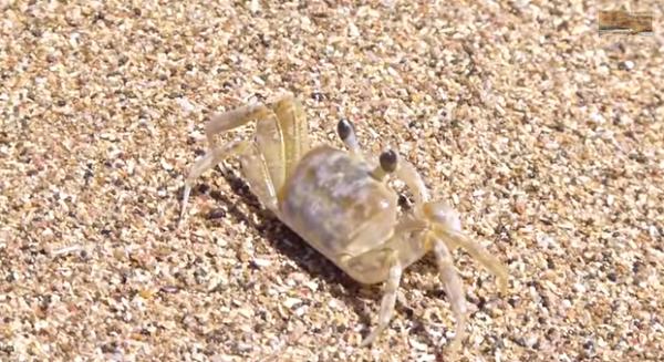 Specia Ocypode quadrata