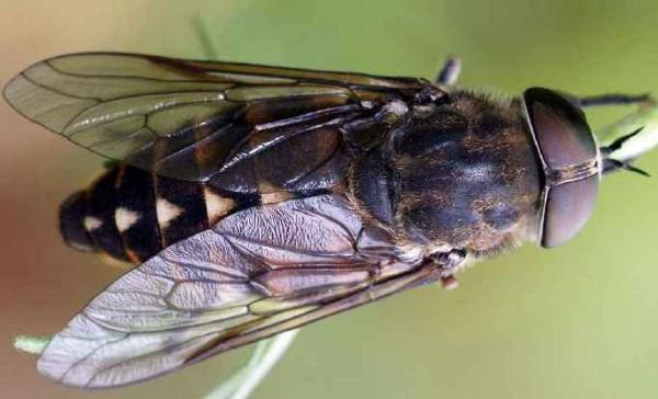 Tabanus sudeticus, Femela, Foto: aramel.free.fr