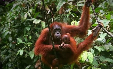 Urangutanul de Borneo