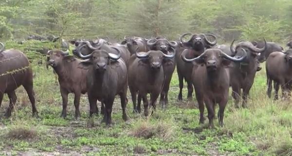 Bivoli din Africa