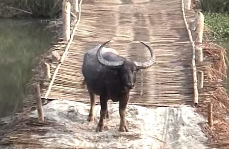 Bivolul indian