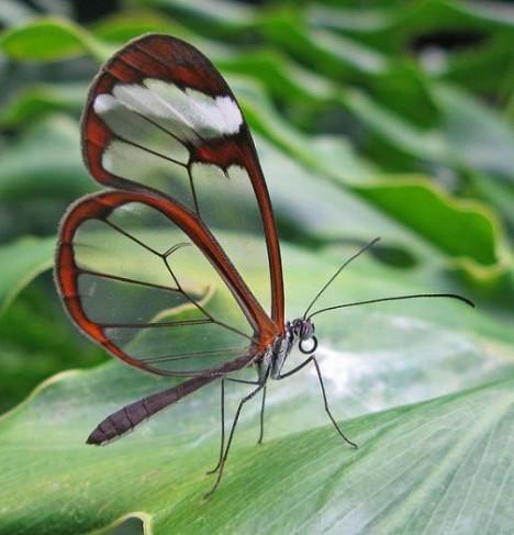 Fluturele cu aripi transparente, Foto: wallpaperhewallpaper.blogspot.ro