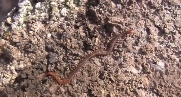 Specia Haplophilus subterraneus