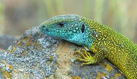 Specia Lacerta viridis