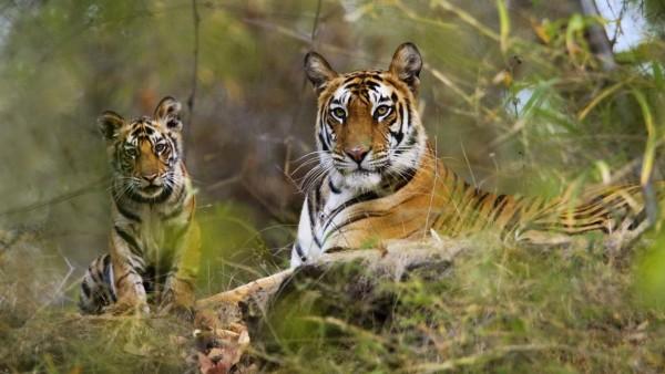 Tigri în Rezervația Naturală Bandhavgarh, Foto: throughgoldeneyes.blogspot.ro