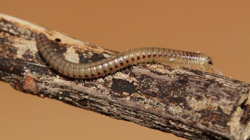 Genul Brachyiulus, Foto: insecte.org