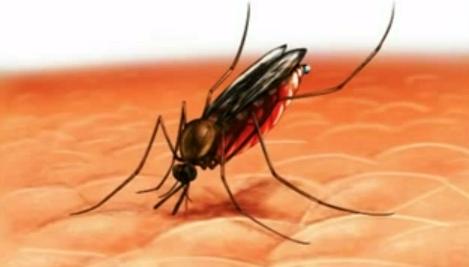 Infecția cu astfel de viermi poate fi transmisă prin înțepăturile țânțarilor